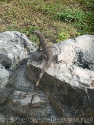 Small iguana on a rock at Tulum Ruins.jpg