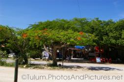 Tulum tree with red flowers.jpg