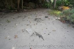 Two iguana in the sand at Tulum Ruins.jpg